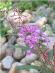 Wildflower (Durango, CO)