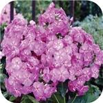 Phlox Lilac