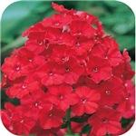 Phlox Red