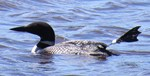 Common Loon tagged