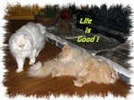 Life is Good - Persian Cats