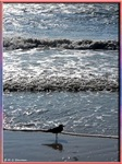Seagull, waves, photo