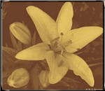 Lily! Sepia print! Photo