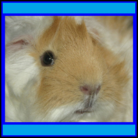 GUINEA PIG GIFTS