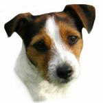 Jack Russell Watercolor