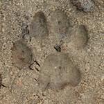 Bobcat Track