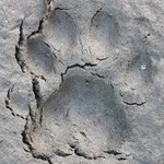 Ringtail Track