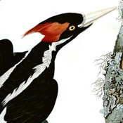 Audubon's Ivory-billed Woodpecker