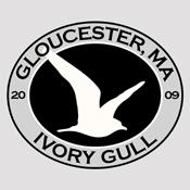 Gloucester Ivory Gull