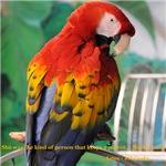 Scarlet Macaw JM Csaky