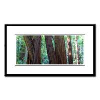 San Francisco Redwood Trees Framed Photographs