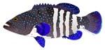 Peacock grouper Roi