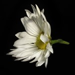 Solitary Flower On Black