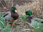 Mallards in early spring