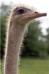Ostridge