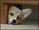 Peek A Boo Pup