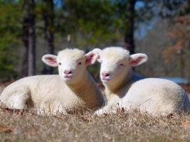 Twin Horned Dorset Lambs