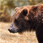 Grizzly Watch