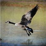 Goose in Flight 1