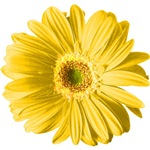 Pop Art Yellow Daisy T-shirts & Gifts
