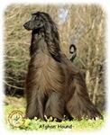 Afghan Hound 9P032D-201