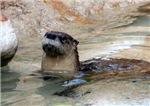 Otter #4