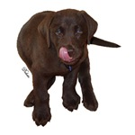Chocolate Labrador Signature