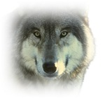 Wolf T-shirts, Wolves Shirts