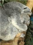 Koala Bear 2 With Baby