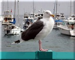 Seagull At Attention