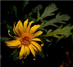 Wilting Yellow Daisy