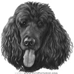 Shadow, Standard Poodle