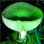 Cupped Mushroom Green