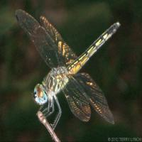American Dragonfly
