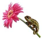 Chameleon Lizard on pink flower