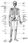 Skeleton/Bones