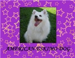 American Eskimo Dog Wall Calendar
