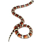 Milk Snake Photo Gifts