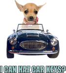 Chihuahua Driving Car