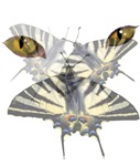Swallowtail and Cats Eyes