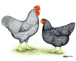 Plymouth Rock Rooster and Hen