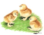 Red Cochin Chicks