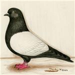 Black Whiteside Roller Pigeon