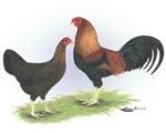 Kraienkoppe Chickens