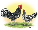 Exchecker Leghorn Chickens