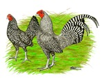 Old English Barred Chicken Pair