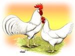 White Leghorn Chickens