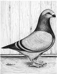Giant Homer Pigeon