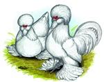 Sultan Bantam Chickens