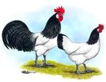 Lakenvelder Chickens